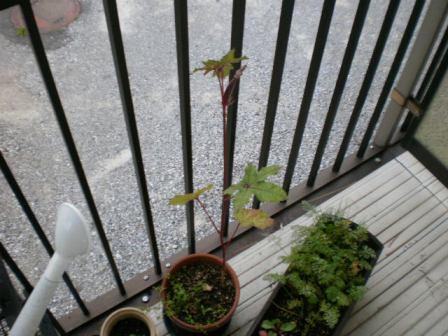鉢植えベニー