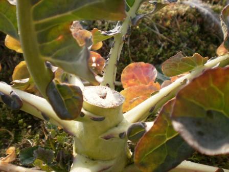 収穫後のブロッコリー