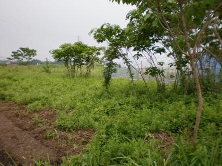 野生化した木々