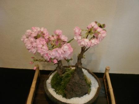 桜の花 いっぱい!