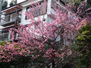 西山神社境内下の緋寒桜