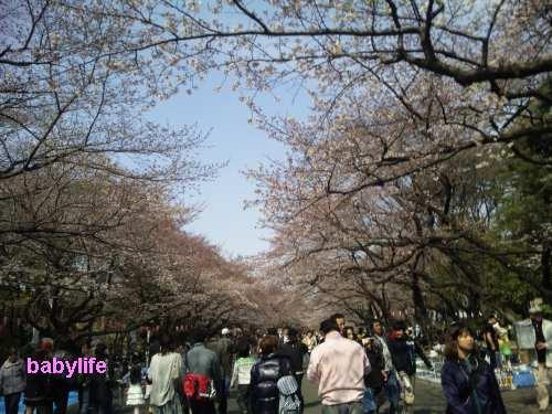 上野の山の桜並木