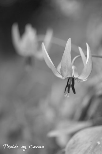 早春の妖精モノクロ