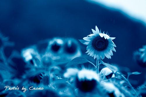 雨中の向日葵