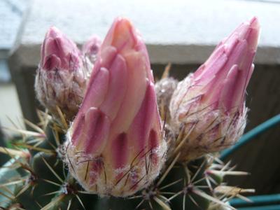 さぼてんの花