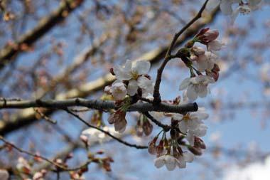 ◎06桜 のコピー