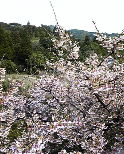 吉野桜全景