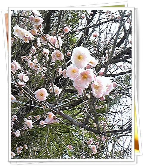 伊作の梅の花1