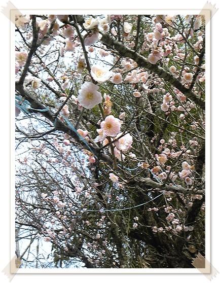 伊作の梅の花2
