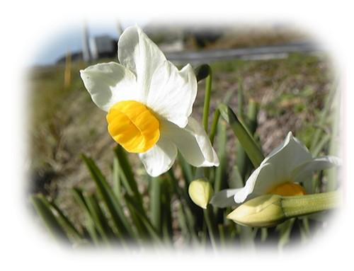 春の日差しに咲くスイセン1