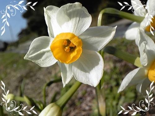 春の日差しに咲くスイセン2
