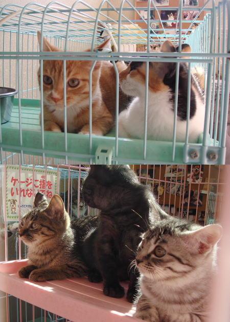 譲渡される子猫たち