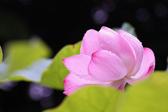 lotus-8.jpg