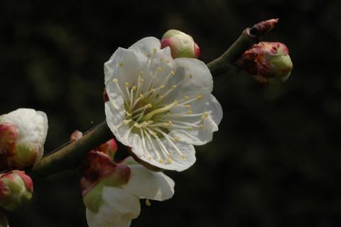 庭の梅満開