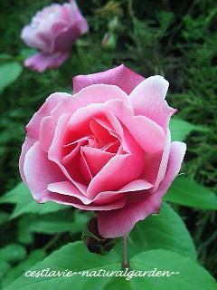 薔薇1号2号