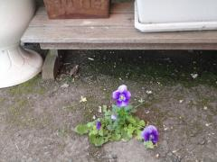 110509庭の花2