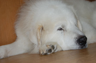 犬 グレートピレニーズ 病気