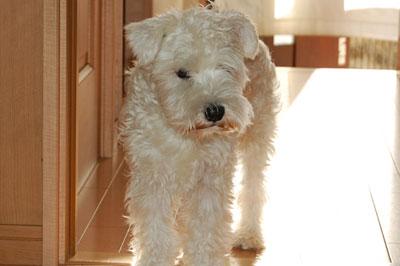 犬 ミニチュアシュナウザー 病気