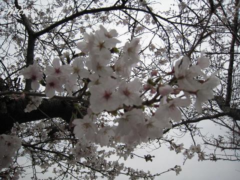2009桜開花 005(30)