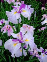 060白紫