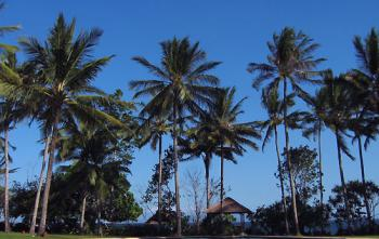 bali coconut.bmp