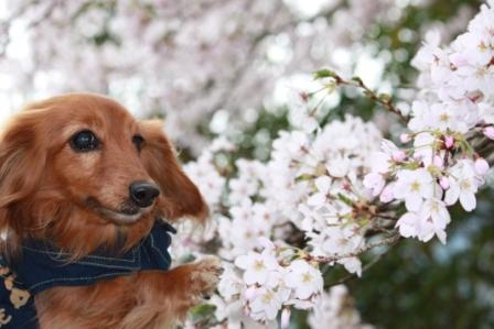 桜とライナ