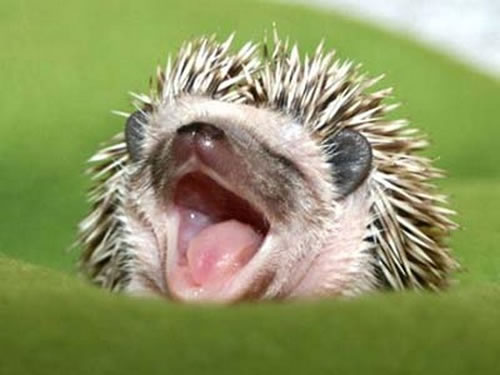 7-funny-and-cute-hedgehogs01.jpg