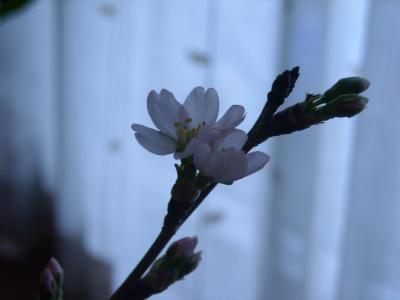 桜(山形)