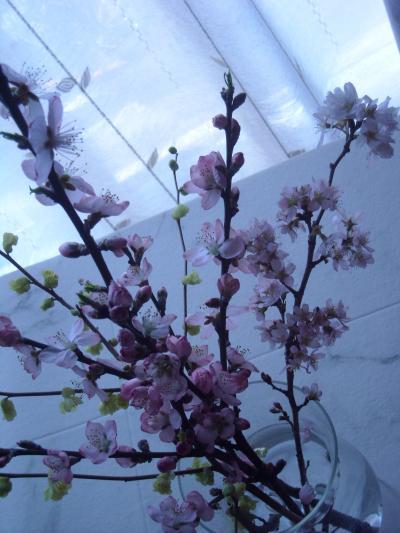 桜(3月31日)