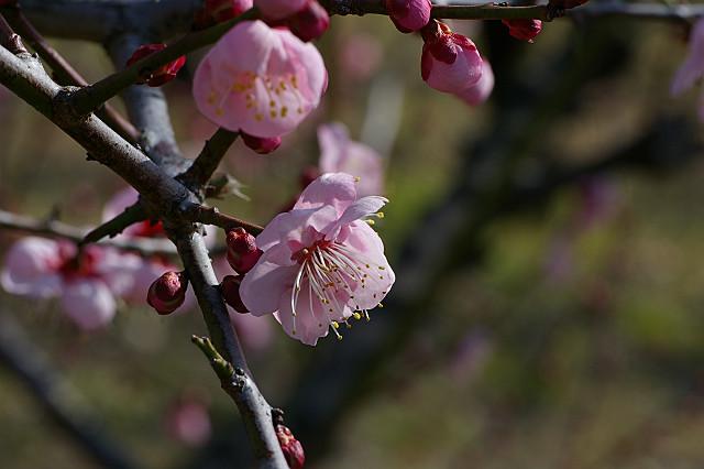 桃色が 健気に香る 紅冬至