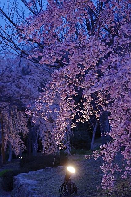紅枝垂れ桜 ライトアップ