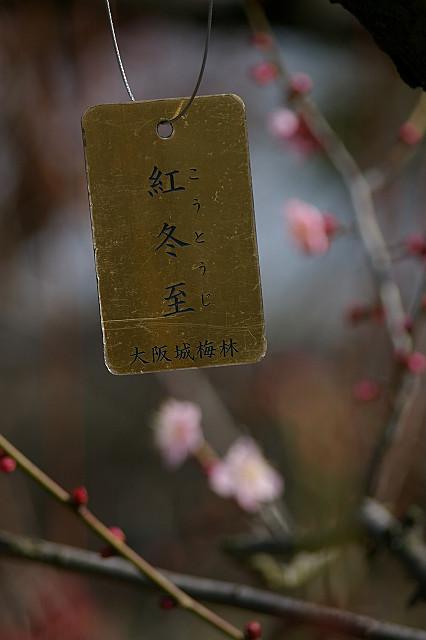 早咲きは 冬至の頃より ほころぶか