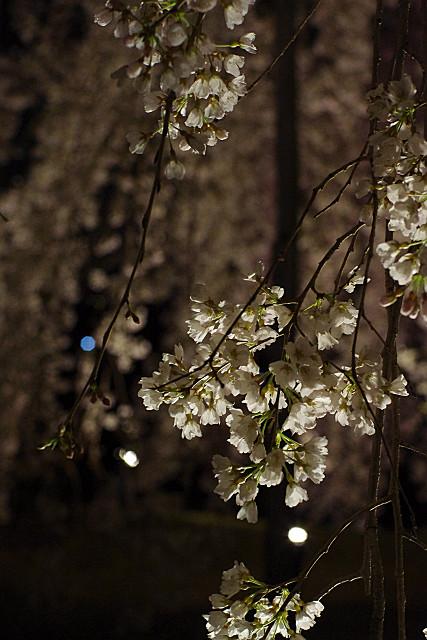 枝垂桜 アップ