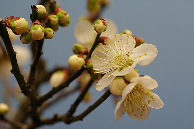 どこかに咲いていた梅の花