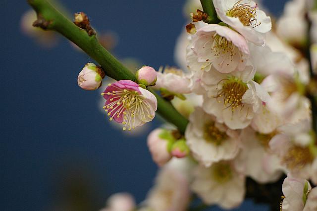 花弁ごと 色を違えて 咲き誇る