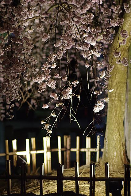 満開の枝垂桜 アップ