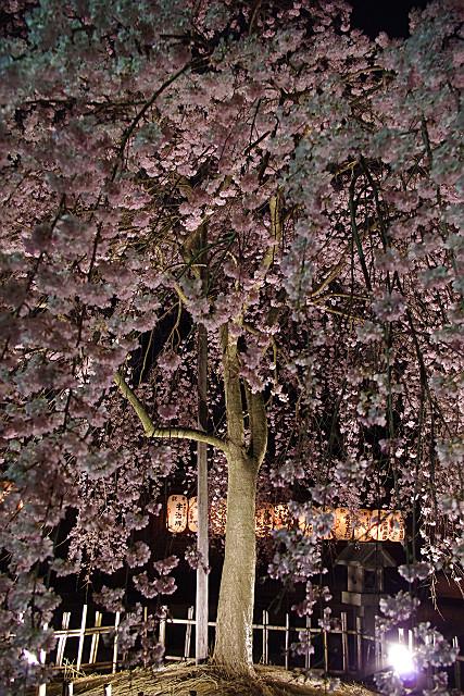 降り注ぐ桜