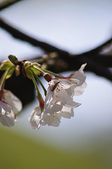 桜花のアップ