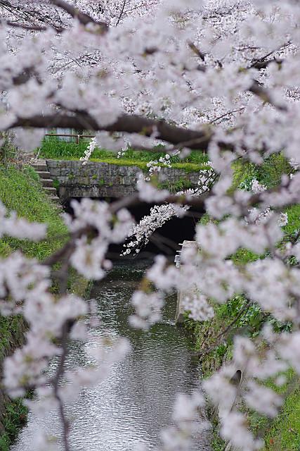 桜のスクリーン