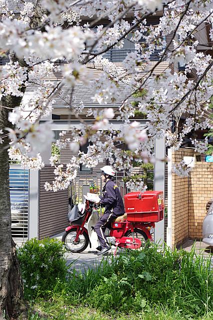 桜の下の郵便配達