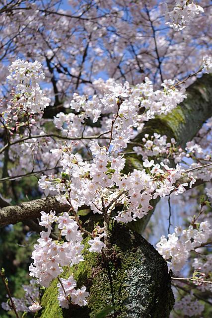 宝積寺の桜