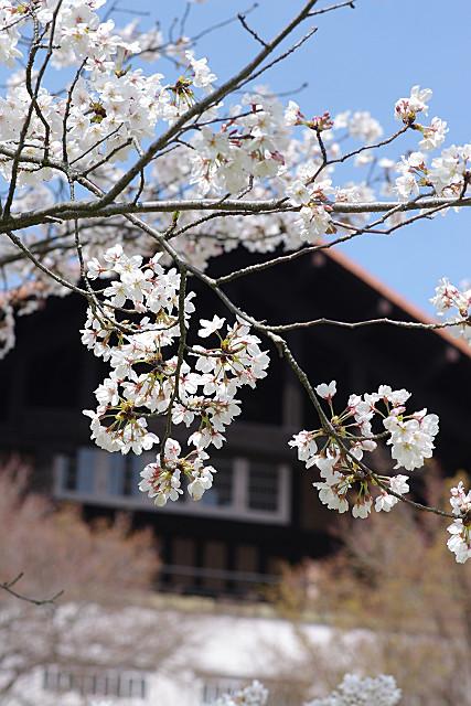 大山崎山荘と桜