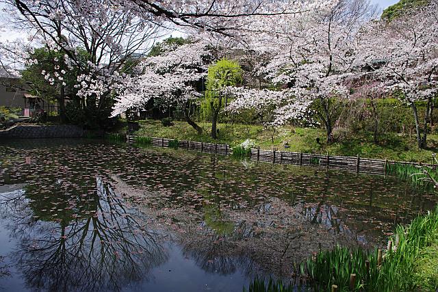 池のほとりの桜