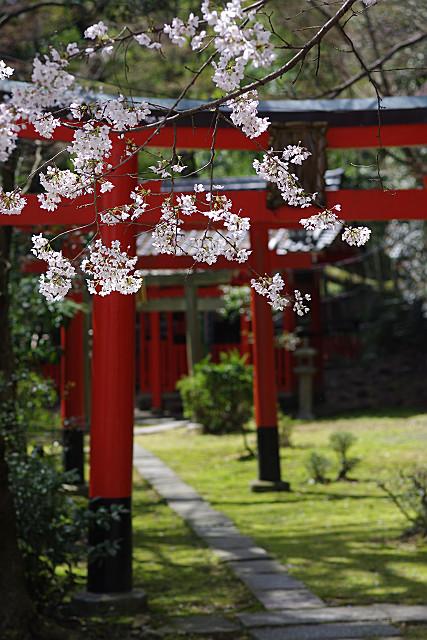 鳥居にかかる桜