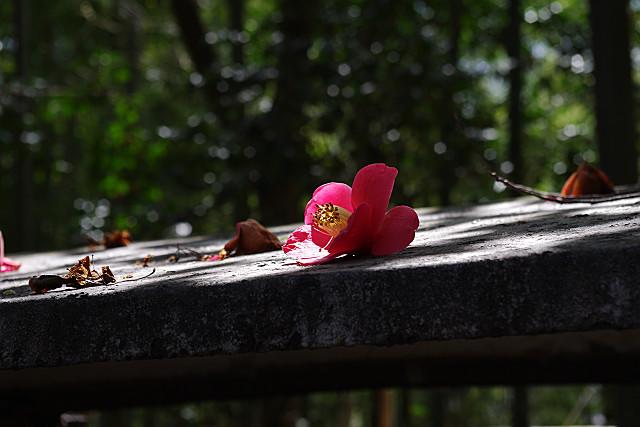 落椿が一輪