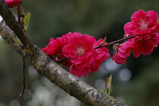 つやつやと桃の花