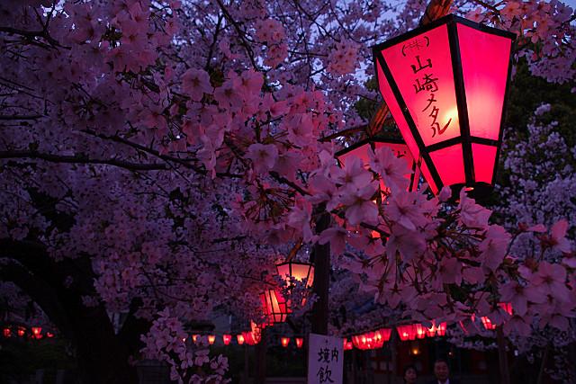 満開の桜の下で 山崎メタル