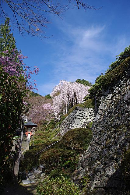 桂昌院様お手植えの枝垂れ桜・引き