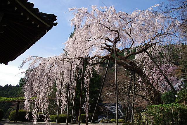 経堂のひさしと枝垂れ桜