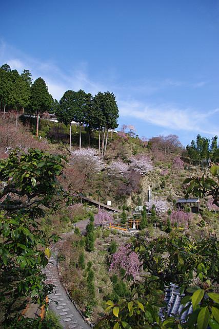青空の下の桜たち